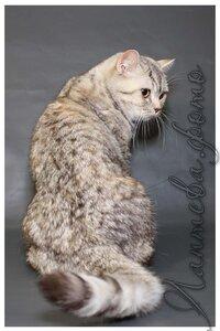 шоколадная черепаховая серебристая пятнистая британская короткошерстная кошка