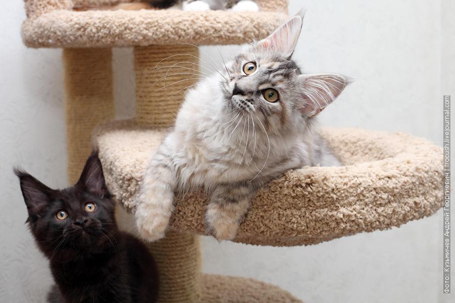 продажа в разведение котят мейн-кун в Москве