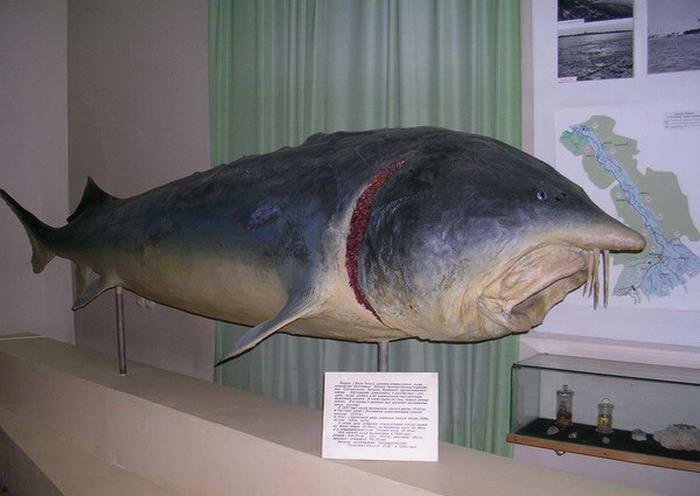 Белуга: фото белуги. Как выглядит рыба, где обитает и чем питается белуга.