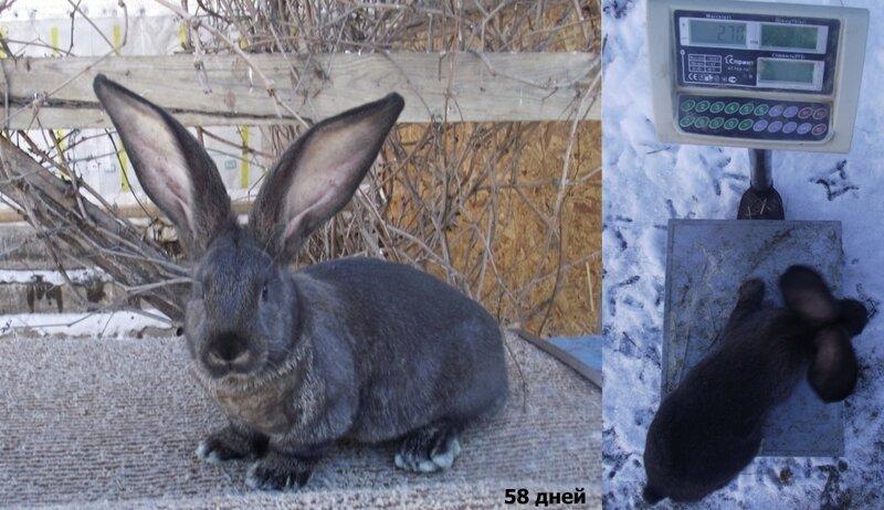 Бельгийский Великан(Обр,Ризен,Фландр) Кролики гиганты.часть 2 - Страница 37 0_cc6e3_30bb0fc9_XL