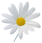 camomile (7).png