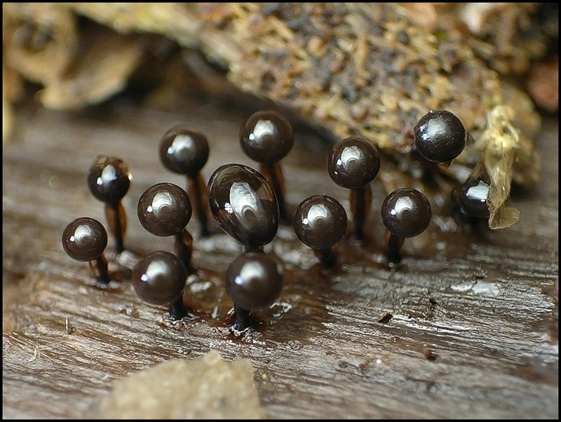 Миксомицеты (Myxamycetes) или слизевики