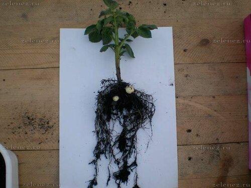 Картофель, томат, и их корневые системы