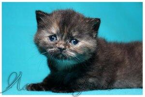 черная черепаховая британская короткошерстная кошка