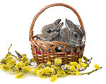 two little rabbits in a basket and spring branch
