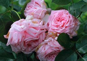 Плетистая роза корал даун