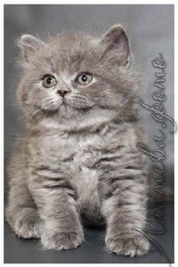 голубой британский короткошерстный кот