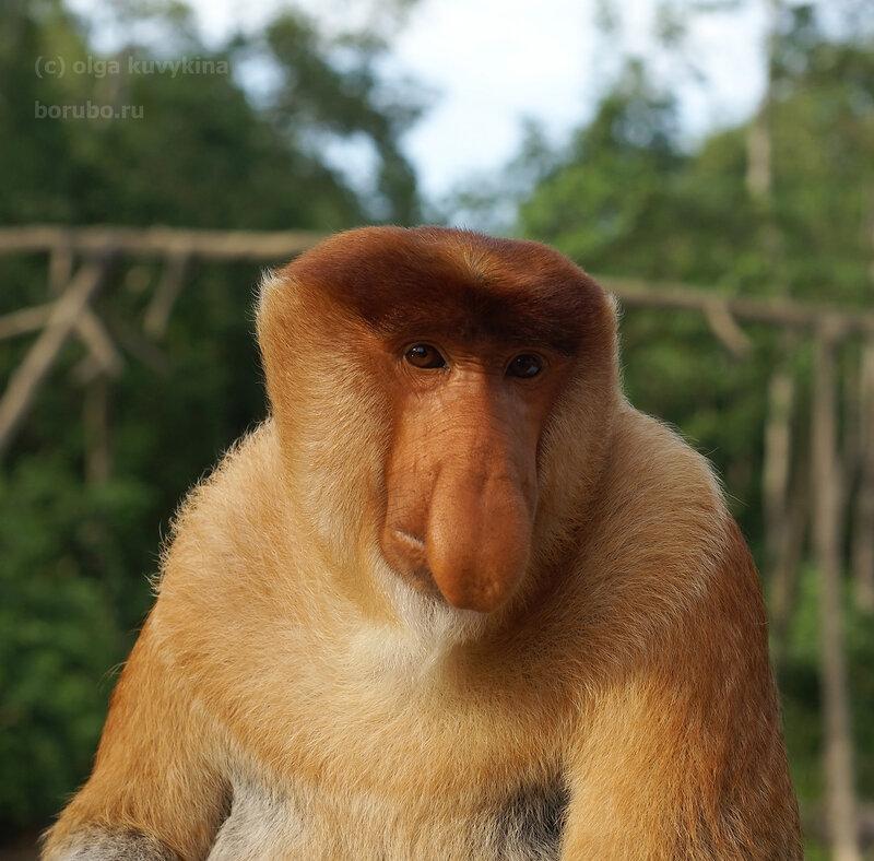 Носач, самец. Лабук Бэй, Борнео.