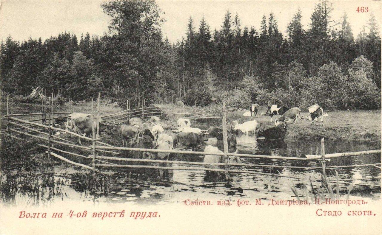 Волга на 4 версте пруда. Стадо скота