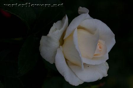 Фото живых цветов, роза