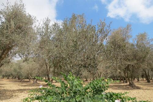 Оливковые деревья и каперсы