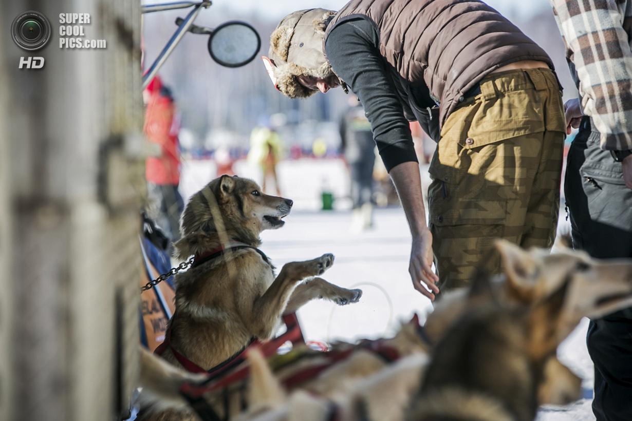 США. Уиллоу, Аляска. 2 марта. Игривое настроение — явный признак, что собаки готовы к приключениям.