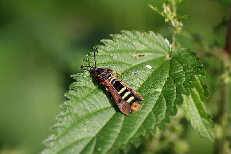 Бабочка-стекляница, вероятно Стеклянница темнокрылая (Paranthrene tabaniformis), маскирующаяся под осу