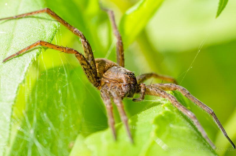 Большой сплавной паук