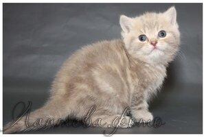 лиловый мраморный британский короткошерстный кот