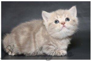 лиловая мраморная британская короткошерстная кошка
