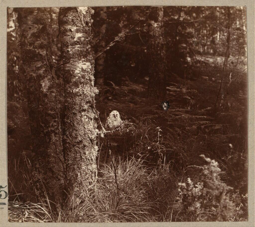 Молодая сова в лесу. Этюды. 1910