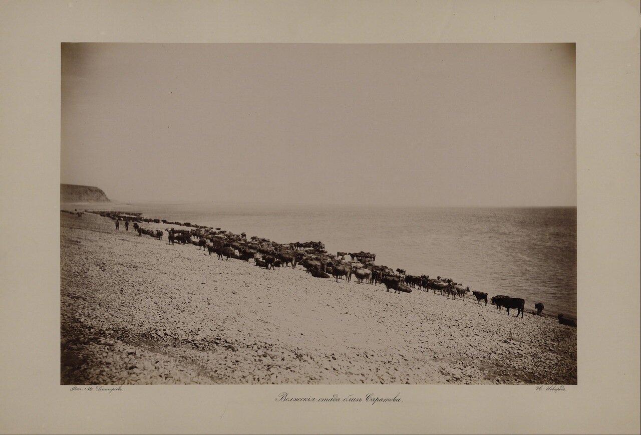 Волжские виды. Волжские стада близ Саратова. 1890-е