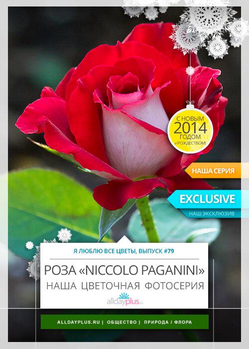 Я люблю все цветы, выпуск 79 | Роза «Niccolo Paganini».