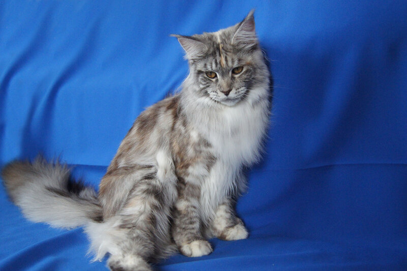 Кошка мейн-кун Зефирка питомник мейнкунов Zen Garden г. Владивосток