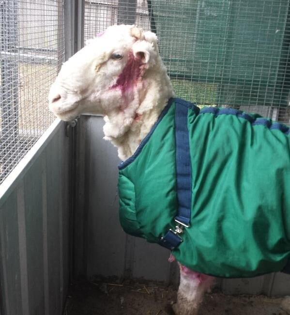 Несколько дней овца поживет в приюте, а потом ее отдадут в новую семью, которая точно не будет забыв