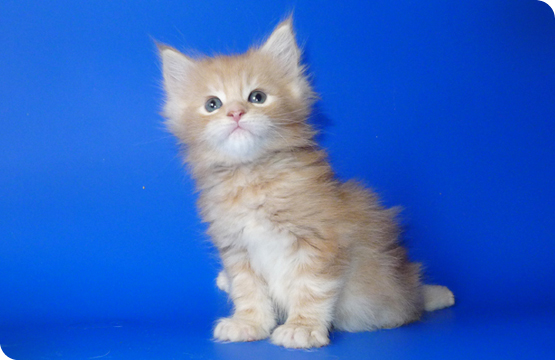 Мейн-кун котенок кремовый мраморный с белым