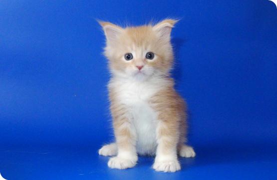 Мейн-кун котенок кремовый тикированный с белым