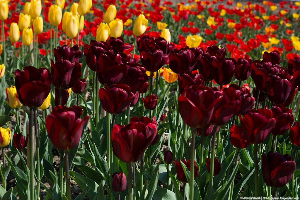 Цветы тюльпаны фото названия