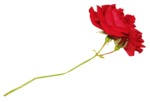 roses forus_element(26).png