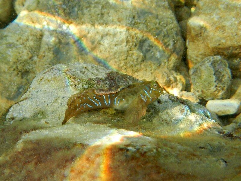 Морская собачка-сфинкс (Aidablennius sphynx) с блестящими полосами на боках на фоне радужных бликов от волн