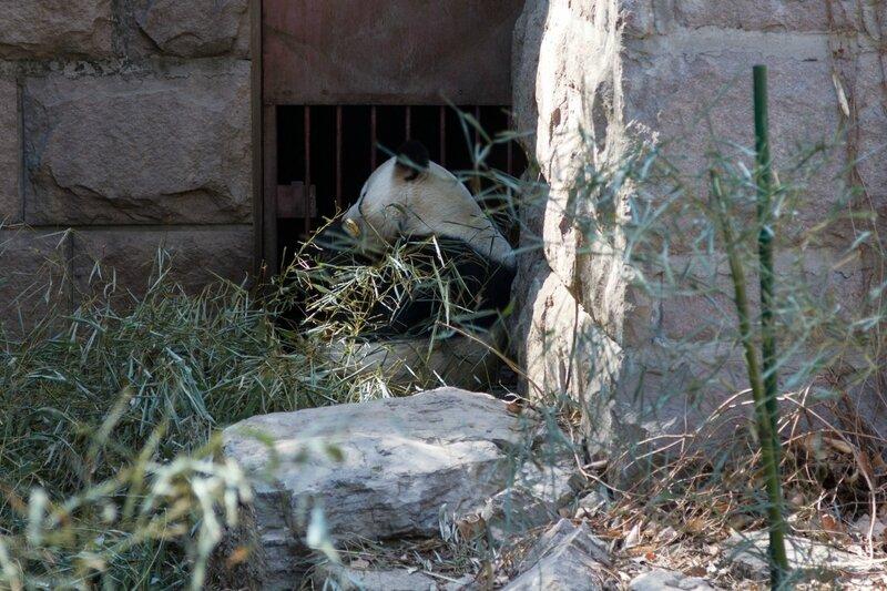 Большая панда, Пекинский зоопарк