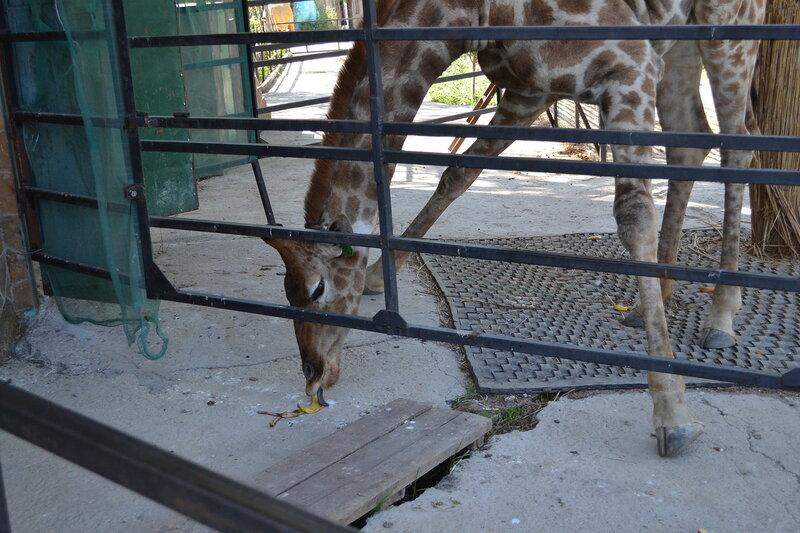 жирафы в зоопарке Сказка, Ялта