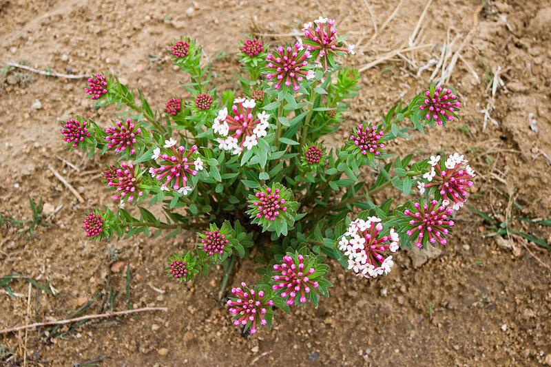 цветы на плато Ордос, Внутренняя Монголия