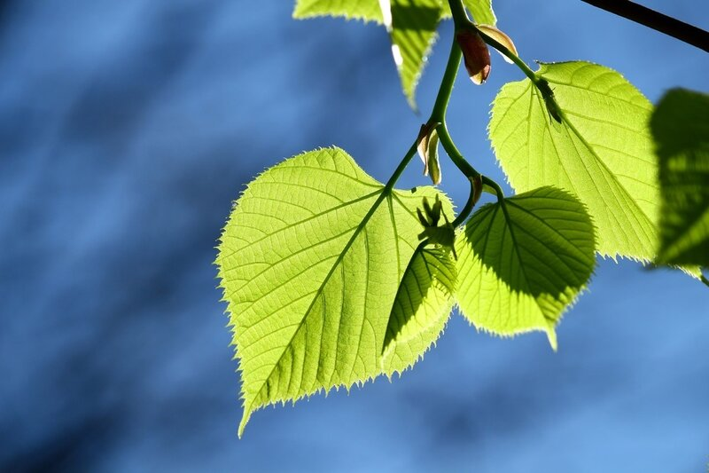 Картинки листья липа
