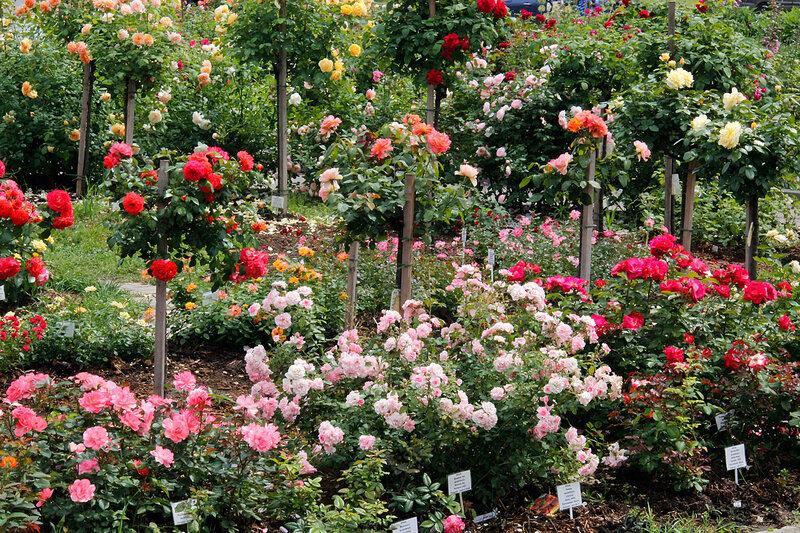 Розарий Мира Увлечений! Приглашаем на цветение!
