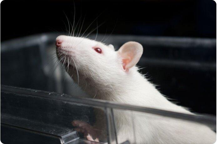 подопытная мышь