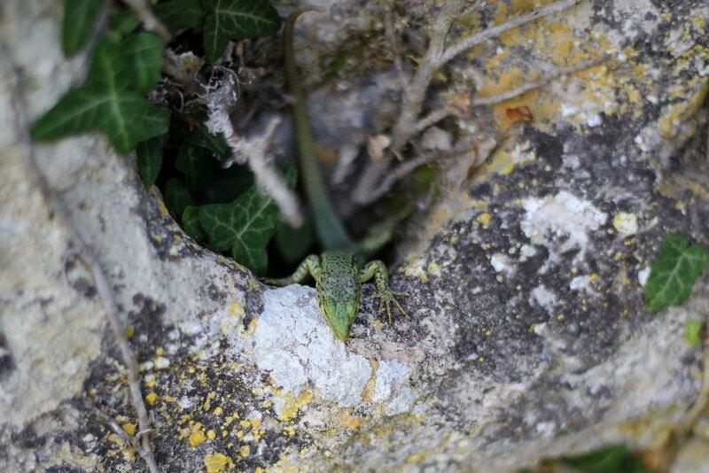 Ящерица прыткая (Lacerta agilis), зелёный самец, выглядывает из углубления в камне