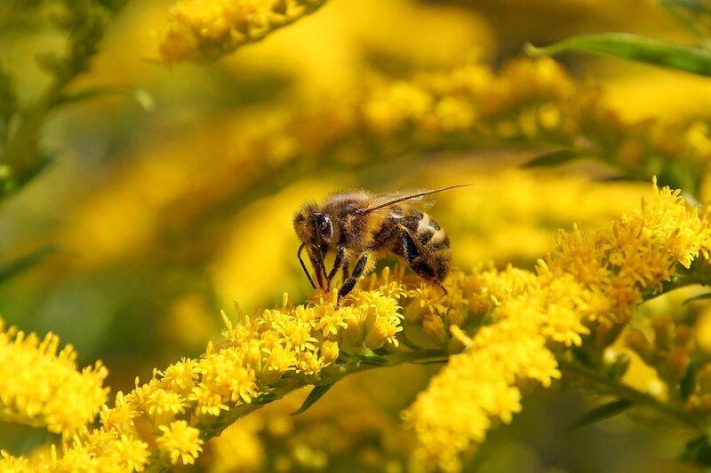 Мохнатая пчела на жёлтой веточке цветов северной мимозы 7117