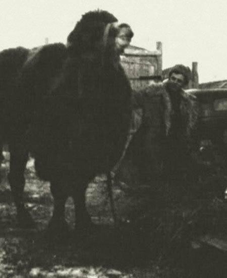 верблюд в народном хозяйстве после войны