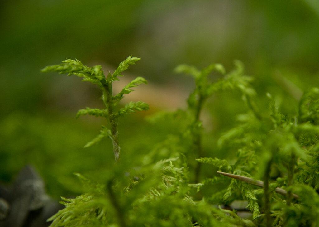 Фото 13. Лесной мох, снятый с использованием макрофильтра Close UP выглядит, как тропический лес
