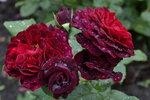 Розы цветут - Страница 2 0_20e3b0_6bd3e685_S