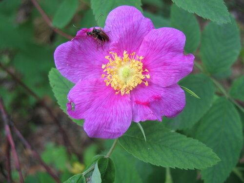 Цветок шиповника с жучками