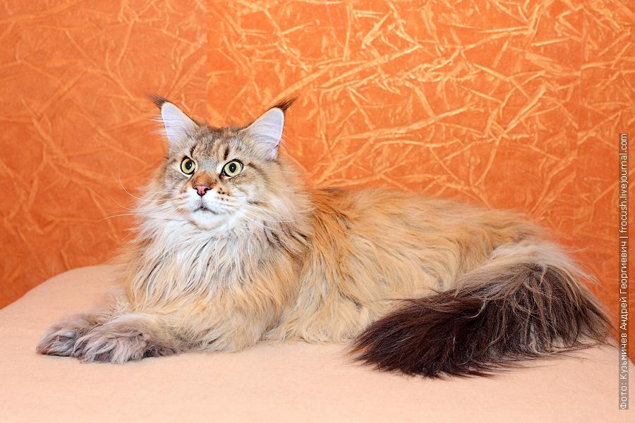 пушистая кошка Мейн-кун