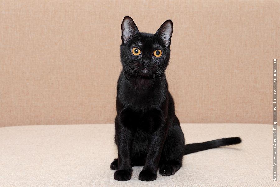 Бомбейский кот - производитель