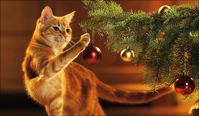 AYY6P5 domestic cat - playing with christmas tree ball