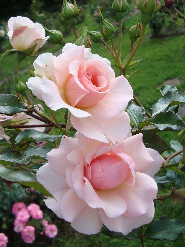 Розы Ботанического сада. Москва