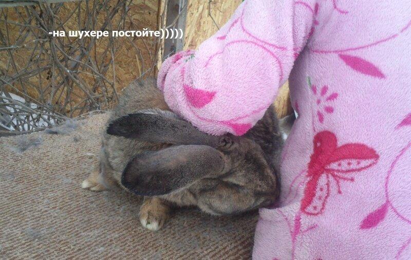 Бельгийский Великан(Обр,Ризен,Фландр) Кролики гиганты.часть 2 - Страница 5 0_d1562_6d239e82_XL