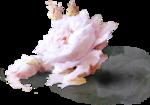StudioMix45-PinkSugarDaydream-ldavi-rose1b-groundperspective.png