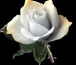 mzimm_onlyyou_rose_01_sh.png