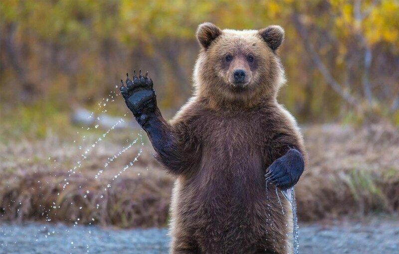 Дружелюбный гризли или Превед Медвед.